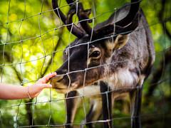 Making contact... (davYd&s4rah) Tags: reindeer contact humananimal animal tier mensch hand arm littlegirl bavarianforest germany deer bokeh leaves green olympus em10markii m75mm f18 olympusm75mmf18 friendship pet