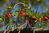 _MG_7483 (Cintia Billmaier.) Tags: naturaleza arboles baum bäumen natur cedro castaño castañodeindias frutos semillas semmel rojo rot verde amarillo grün grun azul blau color colores farben torrelavega cantabria kantabrien