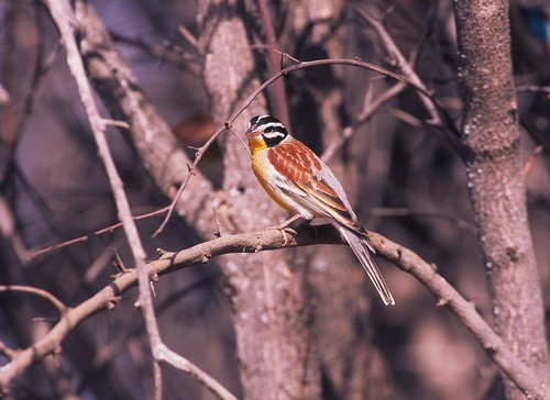 Golden-breasted Bunting , 3545