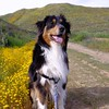 Leo the Aussie (Sissi Fan (CiCi)) Tags: dog spring poppyfield socal flowers hiking dogphotography lakeelsinore sandiego