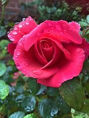 Morning dew Explore #279 (green-dinosaur) Tags: inexplore explore iphone redrose rose kent morning waterdroplets dew flowers