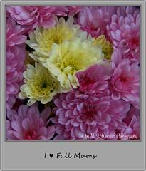 Chrysanthemum 02 (M.J.Woerner) Tags: november fallmums asteraceae chrysanths autumcolors postermums chrysanthemum autumflower