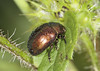 Tansy with a Tan (Prank F) Tags: woodwaltonfen greatfen wildlifetrust huntingdonuk wildlife nature insect macro closeup beetle tansy chrysolinagraminis
