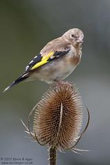 Goldfinch, Carduelis carduelis (Kevin B Agar) Tags: britishbirds cardueliscarduelis goldfinch hawkswickcote littondale thedales