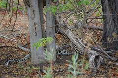 Leopard (brainstorm1984) Tags: pantherapardus moremiwildreservat safari moremigamereserve junges desertdeltasafaris botswana wildlife pantheraparduspardus okavangodelta wildfelinephotography cub campmoremi big5 jungtier leopard elangeniafricanadventures bigfive xakanaxa northwestdistrict botsuana bw
