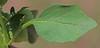 CAE005565a (jerryoldenettel) Tags: 170914 2017 asterids globecherry grantco lamialews margaranthus margaranthussolanaceus nm nettedglobecherrygeorgetownroad santarita solanaceae wildflower flower