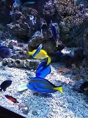 SeaLife Scheveningen (Elad283) Tags: holland haag hague thehague denhaag netherlands nederland scheveningen sealife aquarium sea bluetang dory findingdory