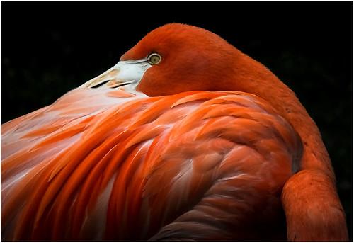 Flamingo by Gary Saunders - Class A Digital -  Award- September 2017