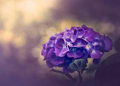 Purple hydrangea (RoCafe Off for a while) Tags: hydrangea flower garden purple bokeh sunlight beautiful nature closeup nikkor2470f28 nikond600
