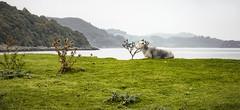 Horse Isles Bay (TrotterFechan) Tags: sheep bay horseisles almorness
