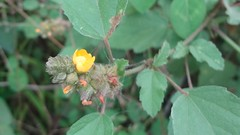 DSC05348a (alfredoeloisa) Tags: plantas plantasterrestres plantasvasculares traqueofitas angiospermas plantae tracheophyta tracheobionta magnoliopsida