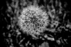 Dandelion Macro (Michael Mckinney (Find my Twitter @MMckinneypho) Tags: dandelion nature macro close up weed monochrome seeds black white details moody nikon calgary alberta canada
