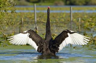 Cygne Noir - ailes déployées