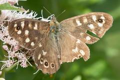 Heemtuin (Anieteke) Tags: heemtuin vlaardingen natuur nature macro fauna insect butterfly