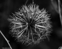 Dandelion Macro (that_damn_duck) Tags: nature blackandwhite plant flower dandelion macro bw blackwhite