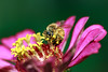 Honeybee on the Zinnia (Johnnie Shene Photography) Tags: honeybee bee zinnia perching zinniaelegans nature natural wild wildlife livingorganism tranquility adjustment interesting awe wonder fulllength depthoffield bokeh feeding pink lighteffect animal insect bug stamen petal corolla hymenoptera hymenopteran yellow photography horizontal outdoor colourimage fragility freshness nopeople foregroundfocus korea asia macro closeup magnified day daylight flower flora plant behaviour motion canon eos80d 80d tamron 90mm f28 11 lens 꿀벌 벌 백일홍 꽃 수술
