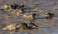 Crocodile Attacks Wildebeest Crossing Mara River While Other Wildebeest  Cross Safely (John Hallam Images) Tags: wildebeest crocodile attacks crossing mara river cross masai masaimara kenya safely marariver