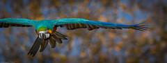 Gelbbrustara (Ara ararauna) (H.Roebke) Tags: deutschland gelbbrustara vogel ara tier lowersaxony parrot natur animal gelb 2014 nature niedersachsen papagei canon7dmkii zoohannover bird hannover canon100400mmf4556lisusm zoo fauna yellow lightroom germany
