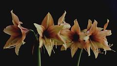 Amaryllis. Hippeastrum. (Jesús 56) Tags: amaryllis hippeastrum bulaklak flower زهرة fleur flor fiore цветочные λουλούδι 花 çiçek flors flores flowers fleurs fiori blumen