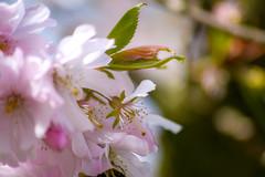 Delicate (- A N D R E W -) Tags: spring primavera flora flowers naturaleza nature uk cherry pink rosa nikon d7100 70300mm sigma blooms petals leaves branch dof depth bokeh defocus