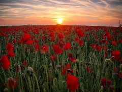 The Poppy Fields above Polly Joke, Cornwall. [Explore] (Mark Curnow Photography) Tags: flora flower poppy poppyfields cornwall uk sunset warm season evening glow vivid selectivefocus canon 550d countryside outdoors outside nature fields walk spread