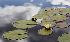 Reflections (tods_photo) Tags: ifttt 500px leaves sky lake water reflection flower blue sun light clouds summer white green lilly