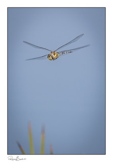 Migrant Hawker Dragonfly flying above the reeds