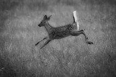 mama! (courtney065) Tags: nikond90 nature animals deer fawn fauna wildlife flight meadow monochrome bw blackandwhite depthoffield action