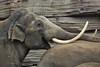 MEKONG (K.Verhulst) Tags: mekong olifanten olifant elephant elephants asiaticelephants aziatischeolifanten wildlandsadventurezoo wildlands emmen