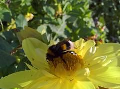 WP_20170819_10_39_58_Pro (vale 83) Tags: bumble bee microsoft lumia 550 friends macrodreams wpphoto wearejuxt flickrcolour coloursplosion colourartaward autofocus beautifulexpression