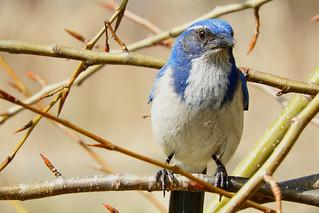 California Scrub-Jay 3-15-17 Steigerwald Lake National Wildlife Refuge