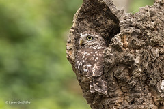 A tight squeeze D75_9894.jpg (Mobile Lynn) Tags: nature owls birds littleowl bird fauna strigiformes wildlife nocturnal otterbourne england unitedkingdom gb coth specanimal coth5 ngc sunrays5 npc