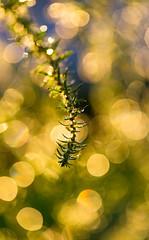 weedy bokeh (auntneecey) Tags: water weed weedybokeh blur beautyisallaround 365the2017edition 3652017 day246365 3sep17