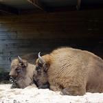 Big buffaloes thumbnail