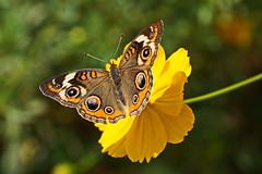 Common Buckeye (Jim Atkins Sr) Tags: junoniacoenia commonbuckeye buckeye butterfly coreopsis sony sonya58 sonyphotographing northcarolina newbern tryonpalace