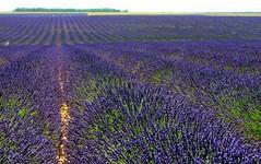La Provenza ... (Augusta Onida) Tags: valensole francia france provenza provence lavanda lavande panorama landscape paesaggio viola violet field
