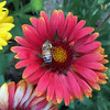 Arizona Red Shades Gaillardia with Bee (Swallowtail Garden Seeds) Tags: gaillardia arizonaredshades arizonagaillardia gaillardiaseries gaillardiaaristata redflowers redflower macro macroflower bee beemacro perennial perennialflowers swallowtailgardenseeds