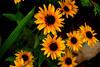 DSC09335 -1BlackEyedSusan (FanzFlames) Tags: lilies coneflowers blackeyedsusan sunflower butterflyweed clematis iris