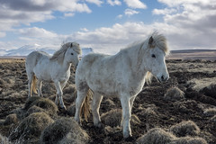 Iceland - Beauty of the world (NأT) Tags: animal horse horses friend friends family famille photography photographie photo landscape landscapes paysage paysages nature snow neige winter hiver montagne mountain cheval chevaux islandais islande paradise cold frozen freeze iceland icelandic tolt tölt