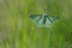 Zomervlinder (Wil Molenkamp) Tags: macro vlinder workshop zomervlinder molenkamp butterfly