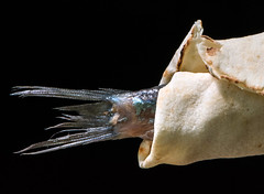 Loaves and Fishes (fotofrysk) Tags: macromondays bread loavesandfishes hmm pitabread flatbread middleeastern arabic saltedmatje herring hollandherring rolmop fishtail canada ontario thornhill cityofmarkham afsmicronikkor105mm28ged nikond7100 201708174925