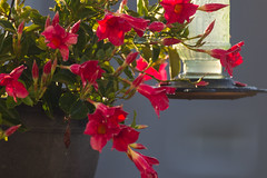 Mandevilla and Hummingbird Feeder (marylea) Tags: aug13 2017 feeders hummingbirdfeeders mandivilla madevilla red flowers plant