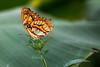 Schmetterling (Thilo Sengupta) Tags: schmetterling butterfly papillion bug bugs macro natur nature f28 canon canoneos80d farbe colour nice nicepic picoftheday beautiful wonderful wunderschön lightroom tiere animals insekten orange