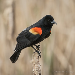 Red-winged Blackbird (Turk Images) Tags: agelaiusphoeniceus aspenparkland beaverhilllakearea redwingedblackbird agriculture alberta birds blackbirds icteridae rwbl prairie spring