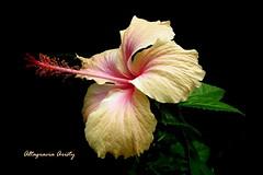 Hibisco/Hibiscus (Altagracia Aristy Sánchez) Tags: hibisco hibiscus cayena laromana repúblicadominicana dominicanrepublic caribe caribbean caraïbe antillas antilles trópico tropic américa fujifilmfinepixhs10 fujifinepixhs10 fujihs10 quisqueya