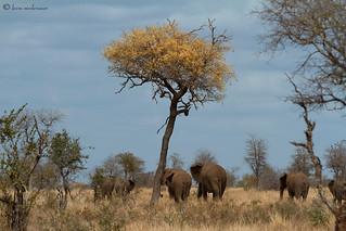 Knob-thorn tree
