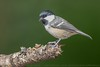 Coal Tit (Steve Nelmes Photography) Tags: animal avian birds cameragear canon canon14xteleconverter canon1dxmark2 canon300mm28lmkii coaltit england feathered forestofdean nature perched stevenelmesphotography wildanimal wildbird wildlife wildlifewatchingsuppliesbeanbag