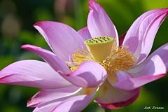 _52R7434 (Dream Delivered (Dreamer)) Tags: lotus flower coth5 coth bestofthephotokingdom artdream dreamer groupecharlieruby
