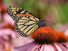 Monarch butterfly (NaturewithMar) Tags: monarch butterfly macro coneflower summer 2017 7dwf wednesday closeup insect garden animal ngc npc