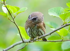 False Eyes (Omnitrigger) Tags: pygmyowl pygmy owl falseeyes northernpygmyowl